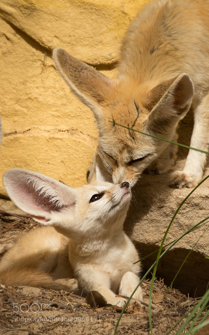 Photograph Fennec Fox #4 by Mark Coker on 500px
