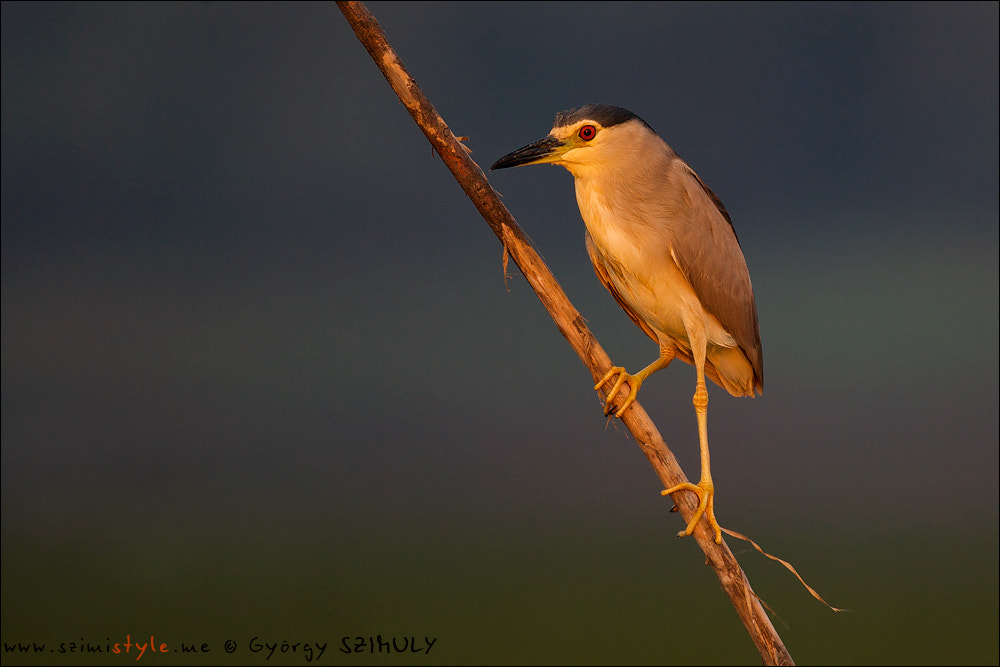 Photograph Black-crowned Night Heron (Nycticorax nycticorax) by Gyorgy Szimuly on 500px