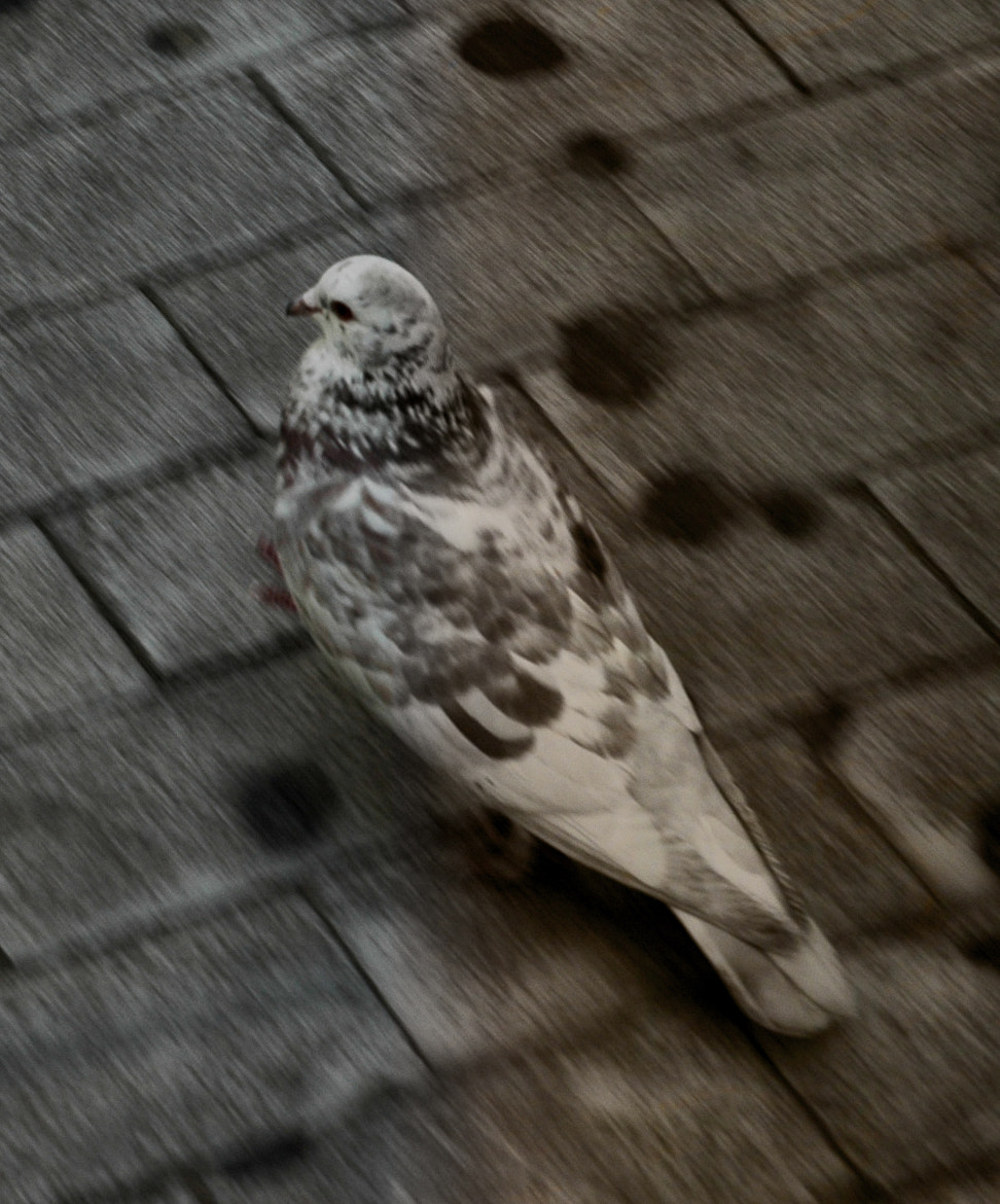 Photograph Pigeon by Thanos Klonopoulos on 500px