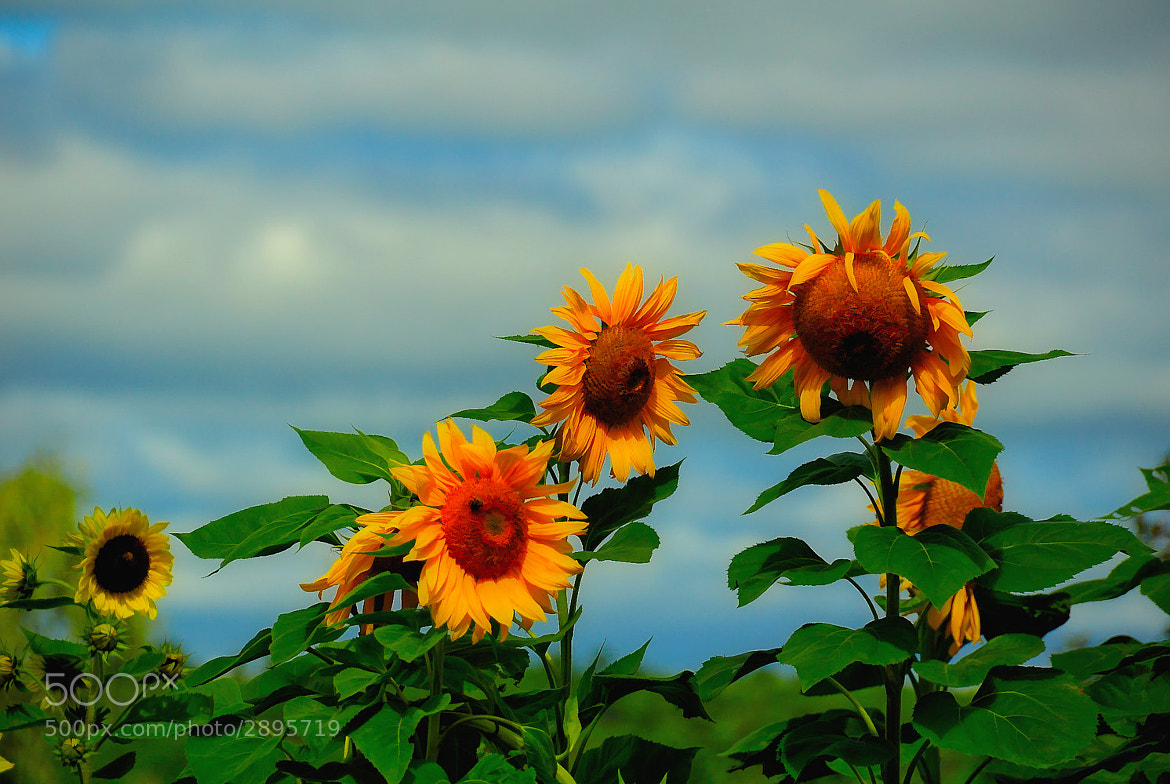 Photograph Some Sunny Flowers by Debra Keller on 500px