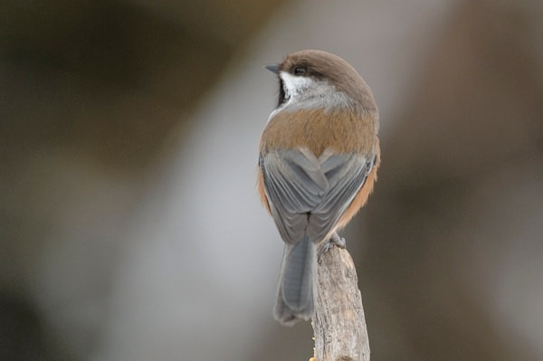 Photograph Boreal Chickadee by Mark Mathison on 500px