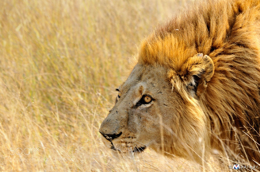 Photograph Lion by Massimiliano Sticca on 500px