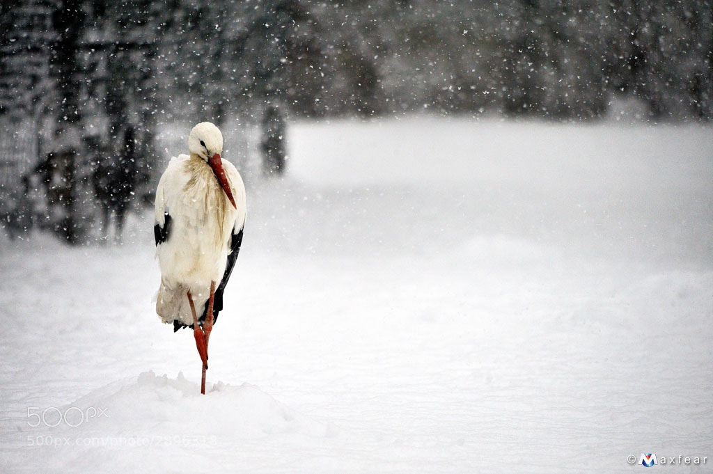 Photograph White Stork by Massimiliano Sticca on 500px