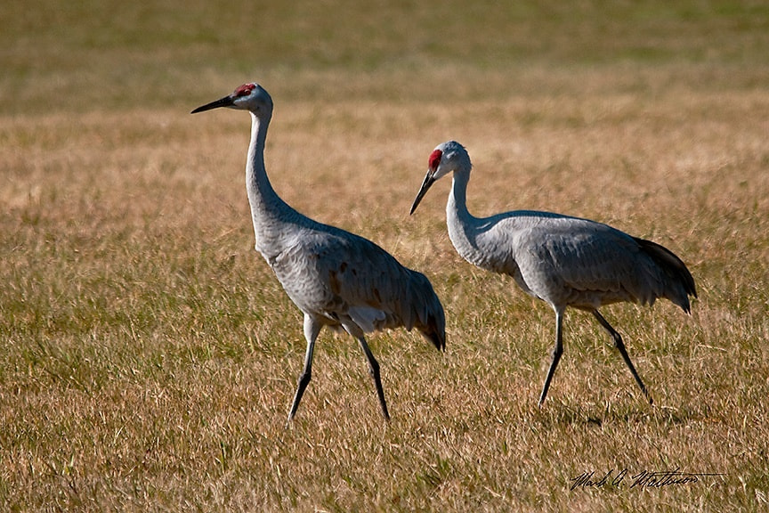 Photograph Sandhill Cranes by Mark Mathison on 500px