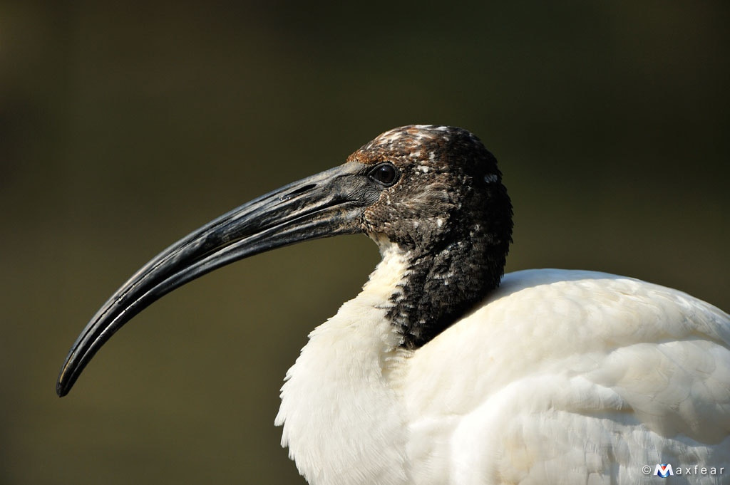Photograph African Sacred Ibis by Massimiliano Sticca on 500px