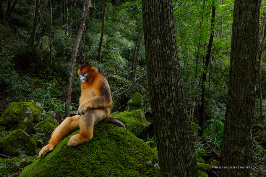 Of monkeys and man by Marsel van Oosten | 500px.com