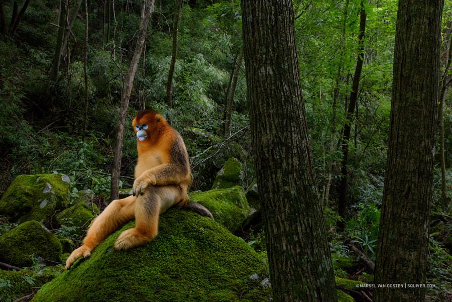 Of monkeys and man by Marsel van Oosten | 500px.com