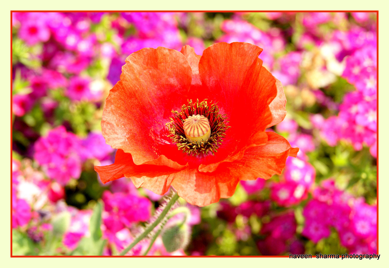 Photograph Poppy glamour by naveen sharma on 500px