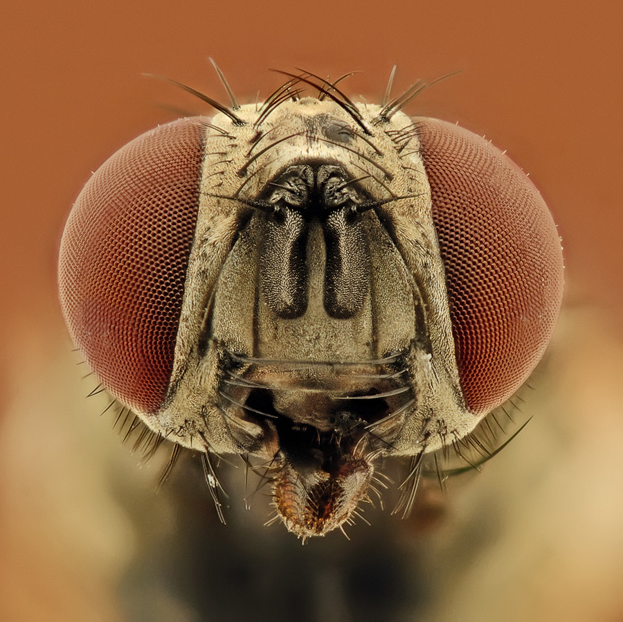 Photograph Housefly ( Female ) by Soheil Shahbazi on 500px
