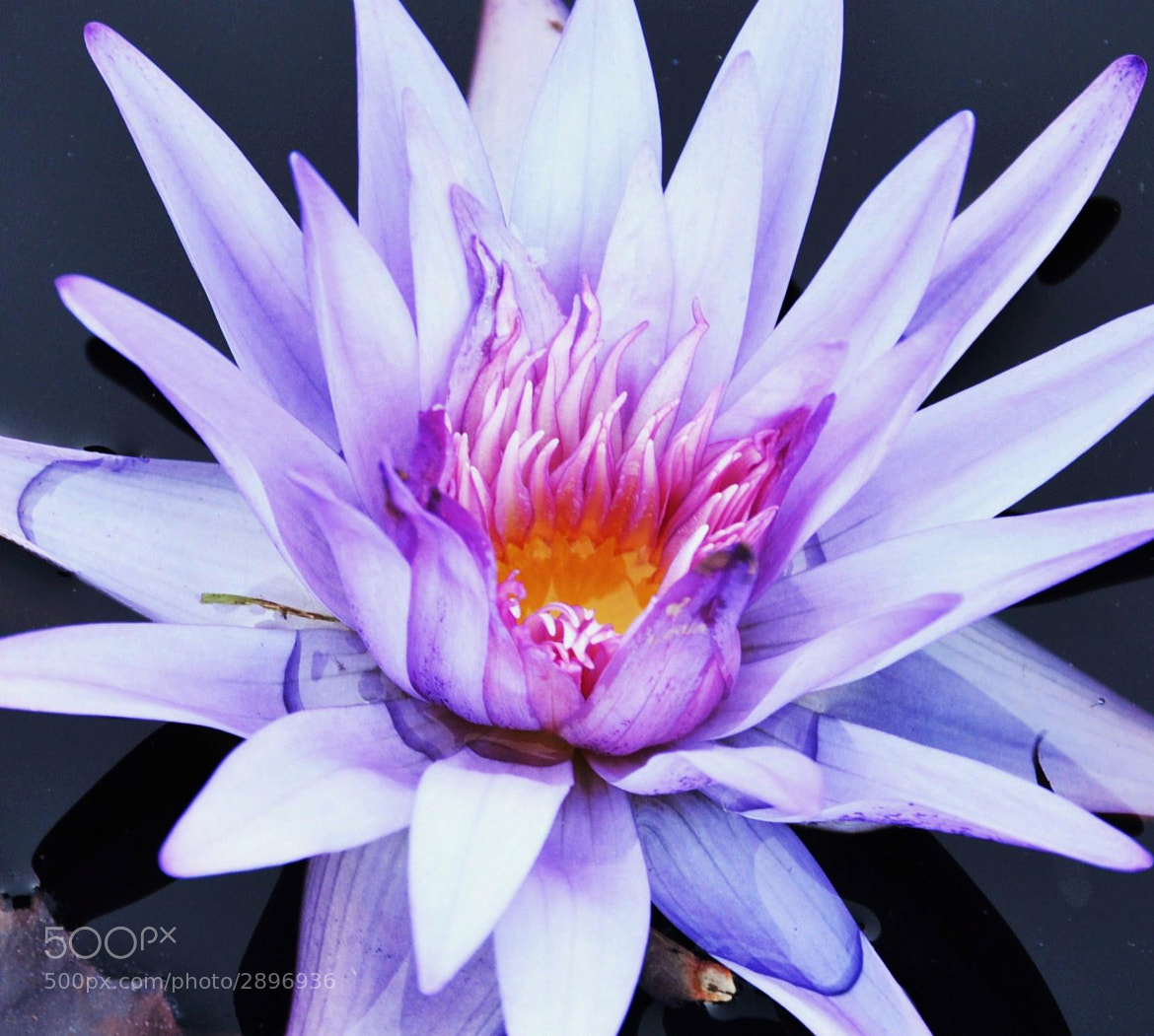 Photograph Water Lily; Atlanta Botanical Garden by Michael Fitzsimmons on 500px