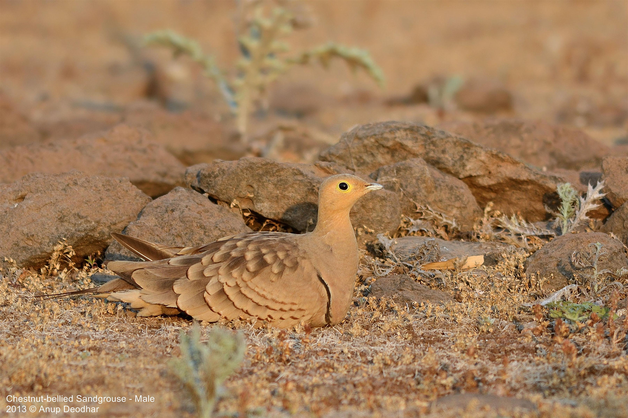 Photograph Chestnut-bellied Sandgrouse - Male by Anup Deodhar on 500px