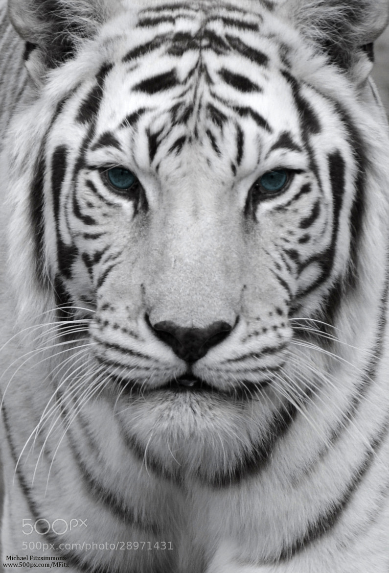 Photograph White Tiger by Michael Fitzsimmons on 500px