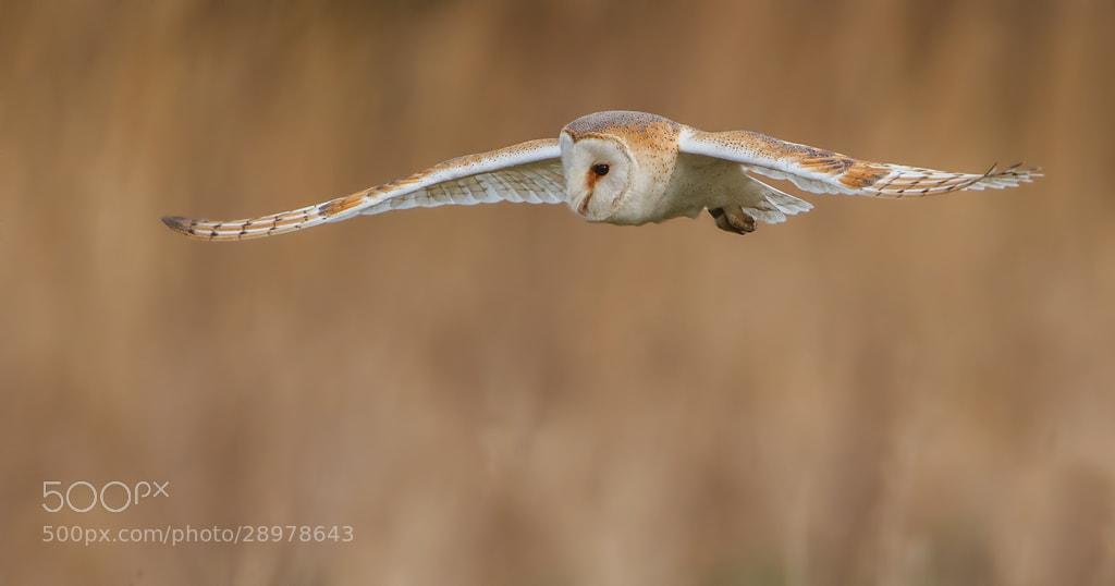 Photograph Barn Owl by John Starkey on 500px
