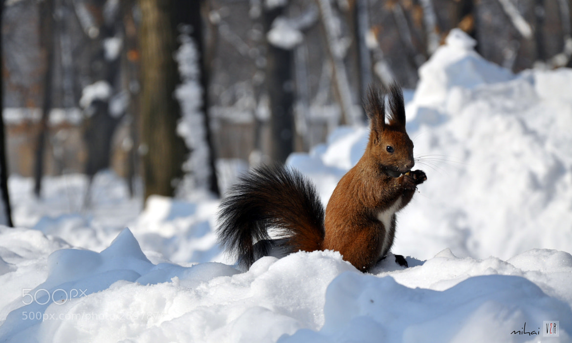 Photograph Squirrel by mihai s on 500px