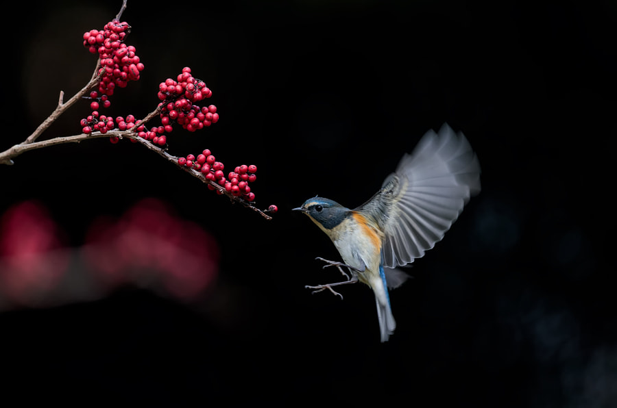 ????? Red-flanked Bush Robin by ???? on 500px.com