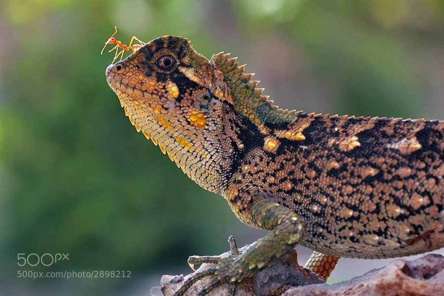 Photograph lizard's rider by teguh santosa on 500px