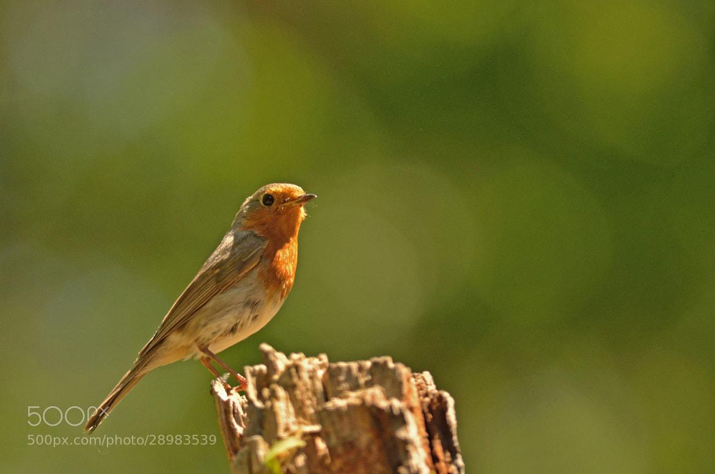 Photograph Sunbathing Robin by Csilla Zelko on 500px