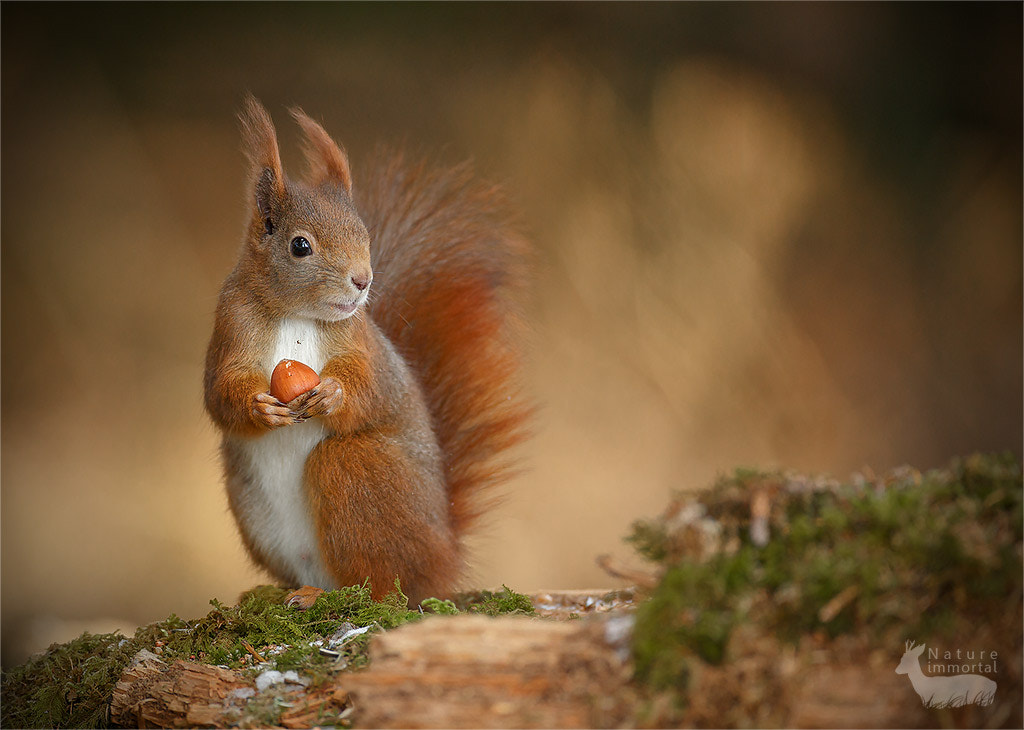 Photograph Red squirrel looking right by Neil Burton on 500px
