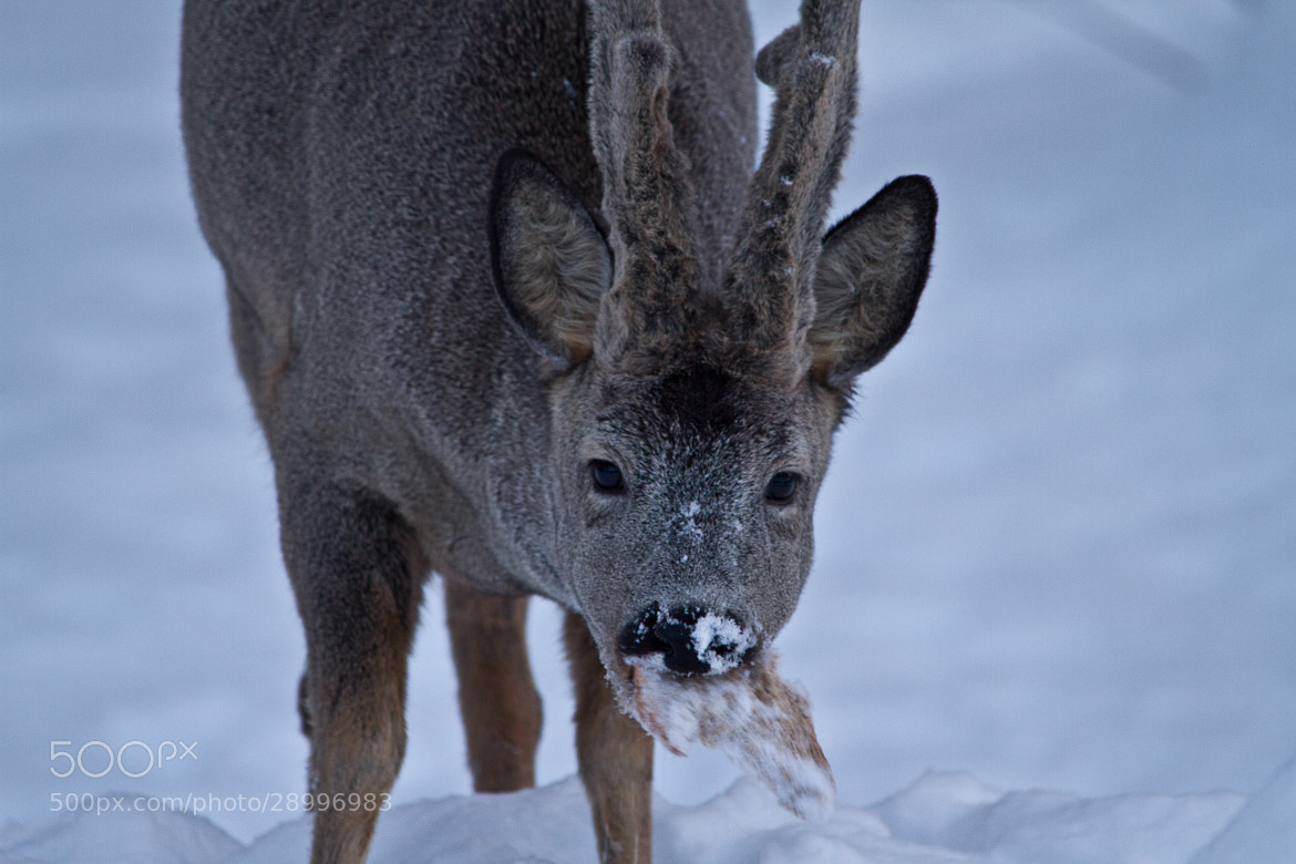 Photograph Capreolus capreolus - Roe deer by Chris-André Paulsen on 500px