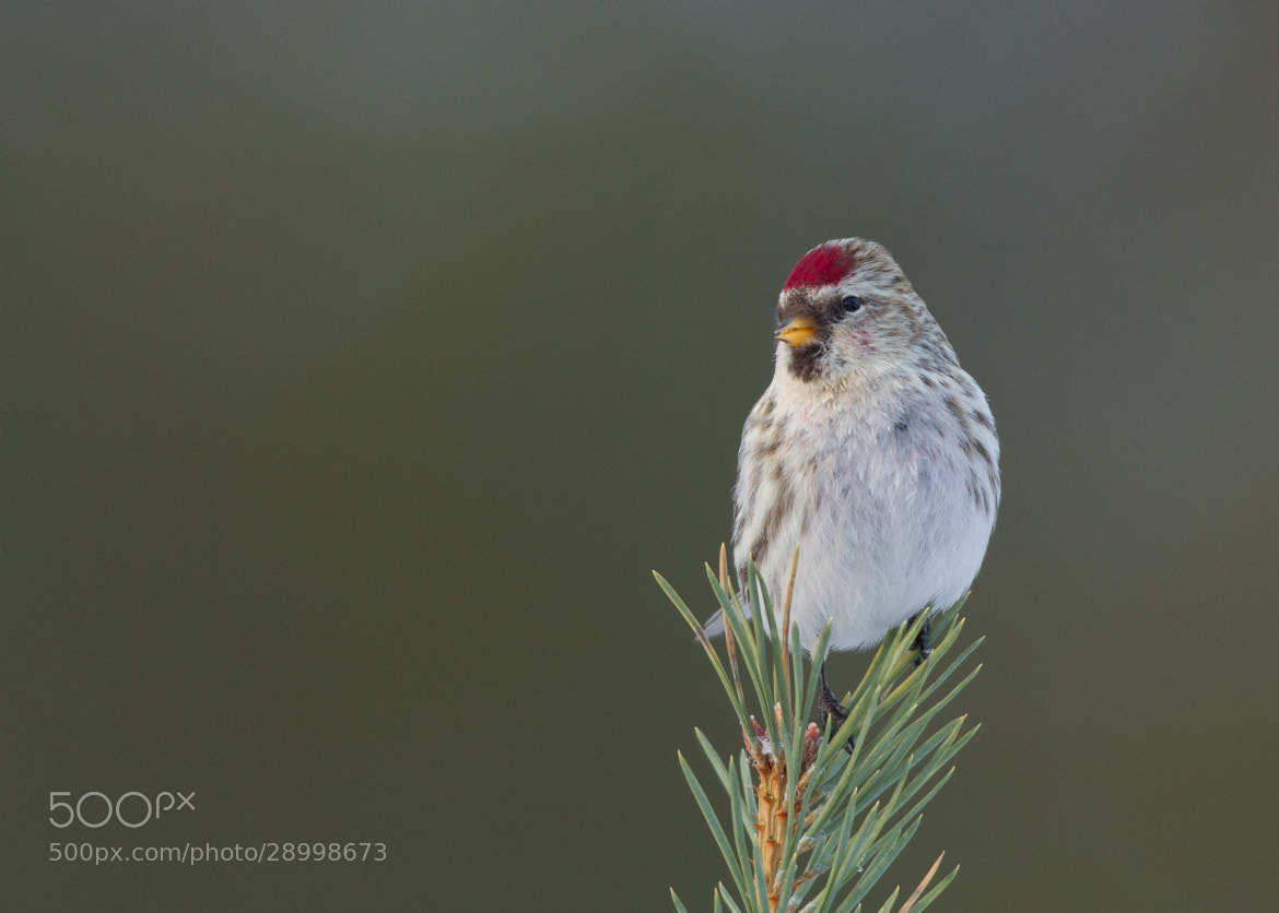 Photograph Arctic Redpoll by Ian Billenness on 500px