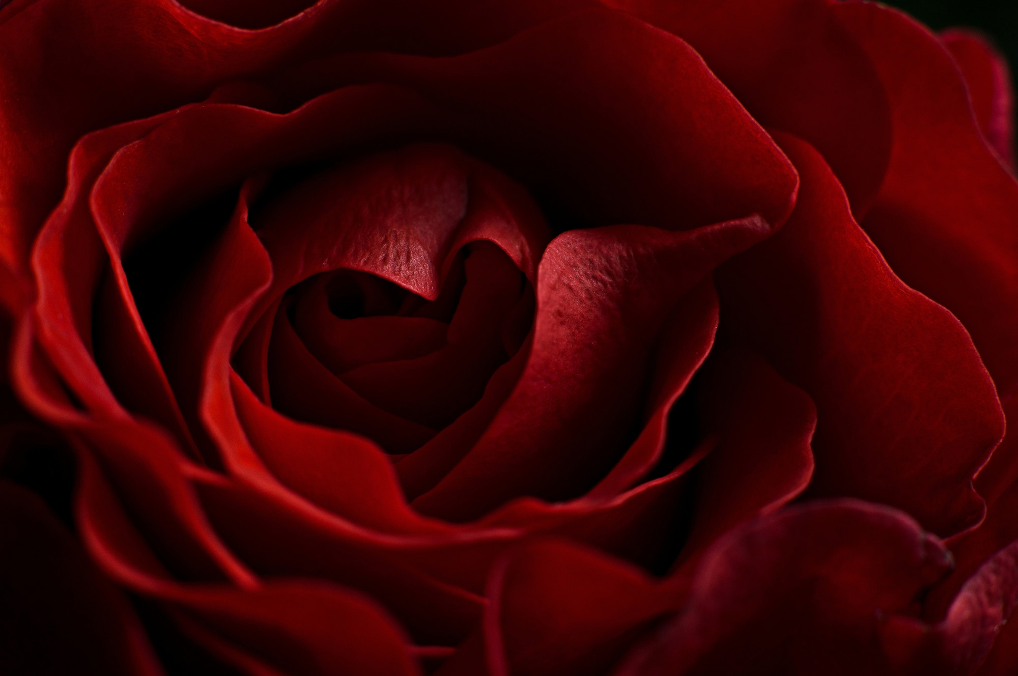 Photograph Rose is a rose by Vanessa Viki on 500px