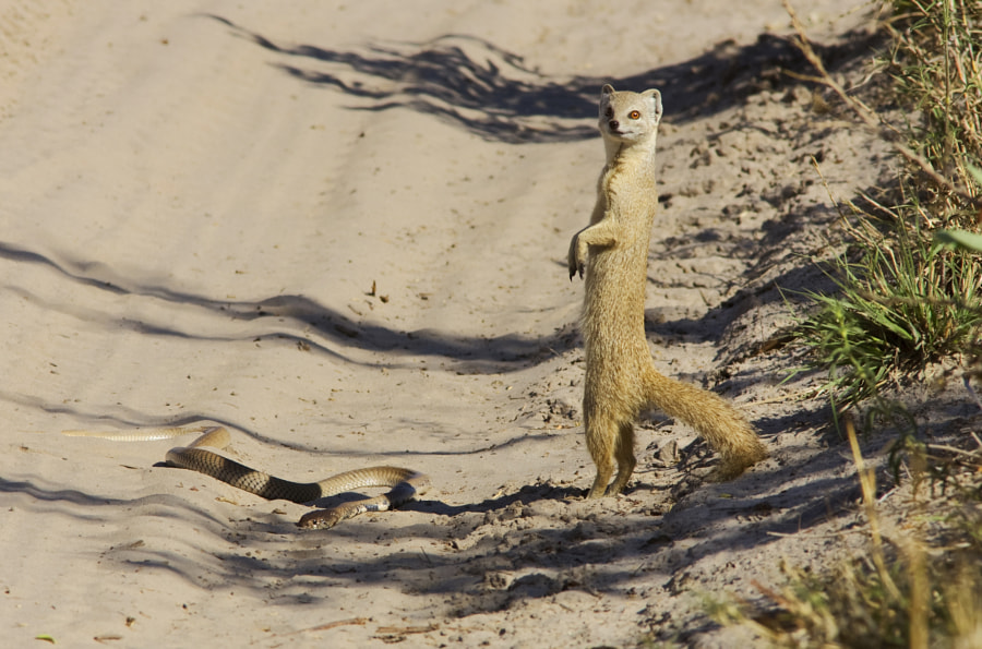 Certainly not very good on a technical basis but an interesting moment. This Yellow Mongoose had recently killed this Cape Cobra, but was still uncertain.