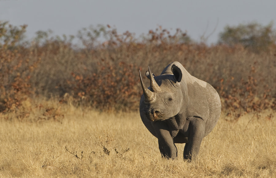 Another image from our uncelievable day of sightings in Western Etosha, 3rd July 2011.