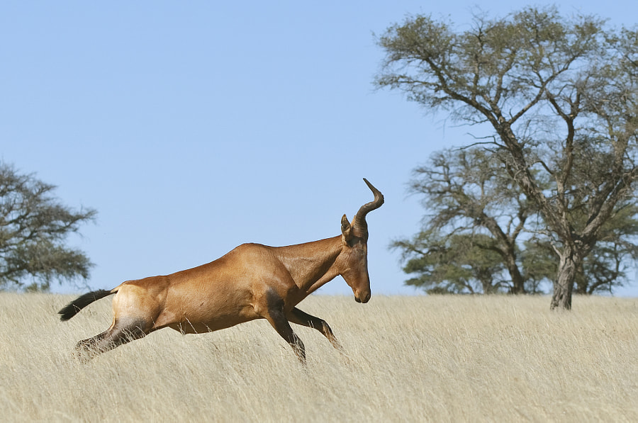 This Haartebest was kind enoigh to gallop  past our car in Kgalagadi Transfrontier Park, South Africa, 16th June 2011