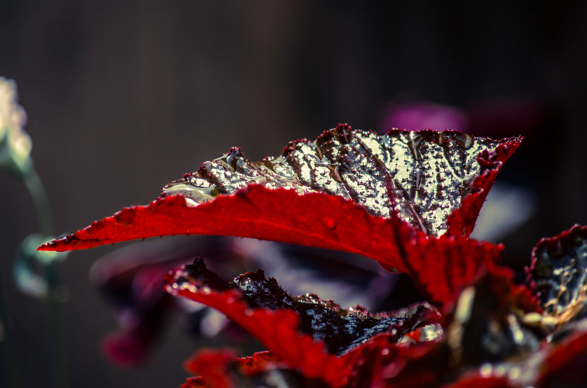 Photograph Red Leaf.... by Rahul S on 500px