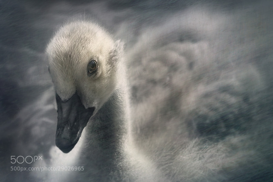 Photograph Portrait of a Cygnet by Jenny Woodward on 500px