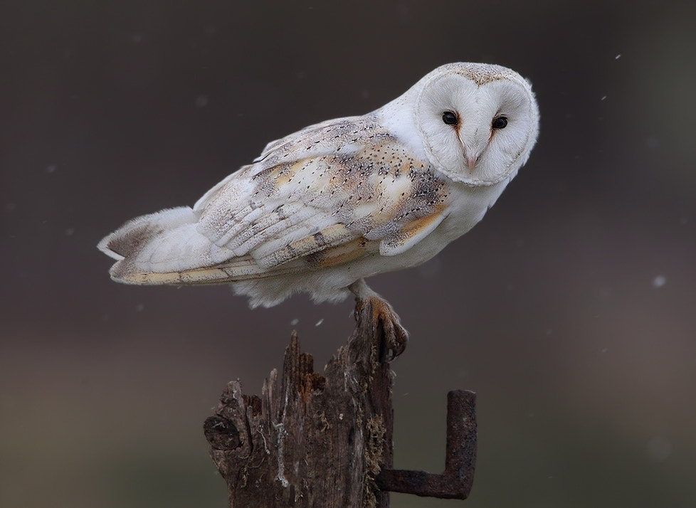 Photograph Barn Owl ( wild as always ) by Karen Summers on 500px