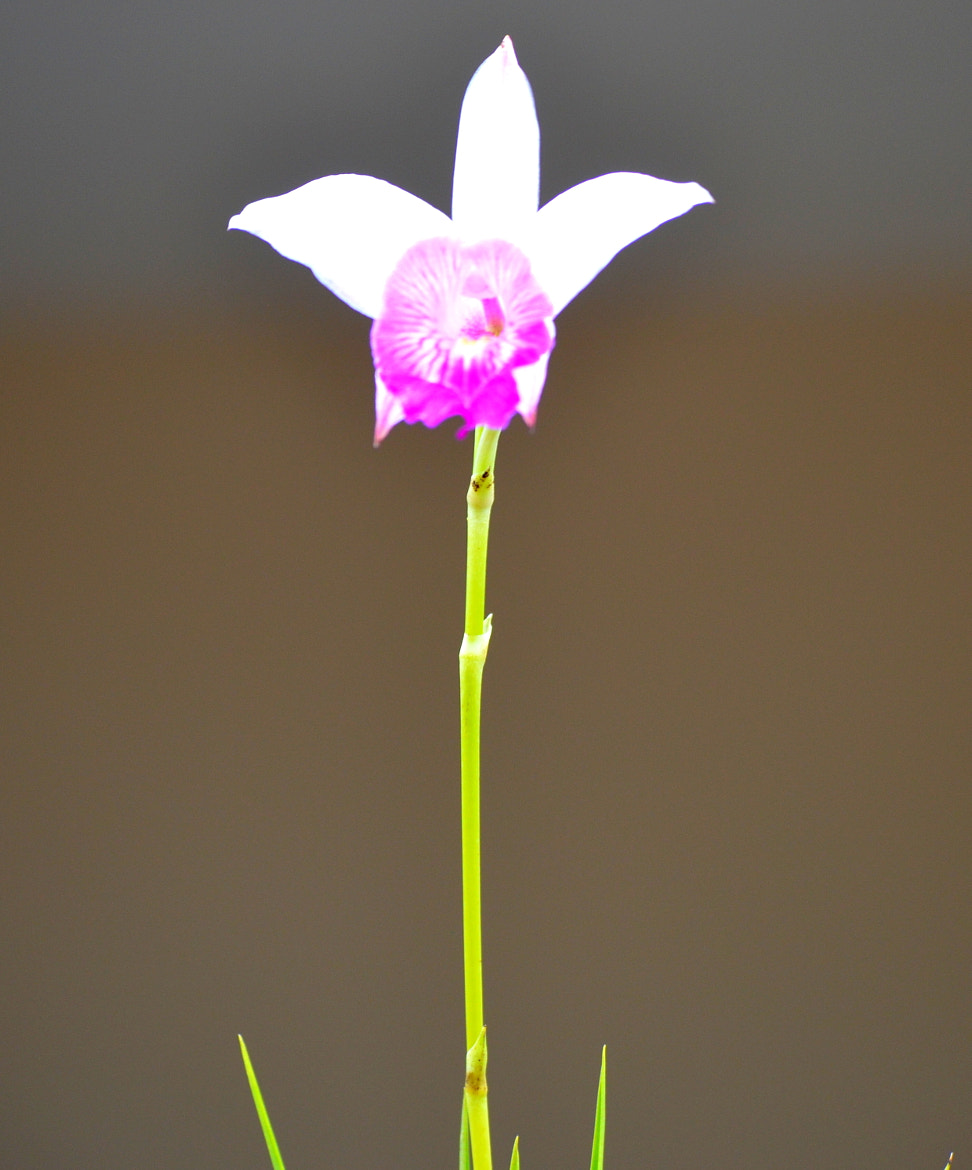 Photograph Orchid by Paulo Zerbato on 500px