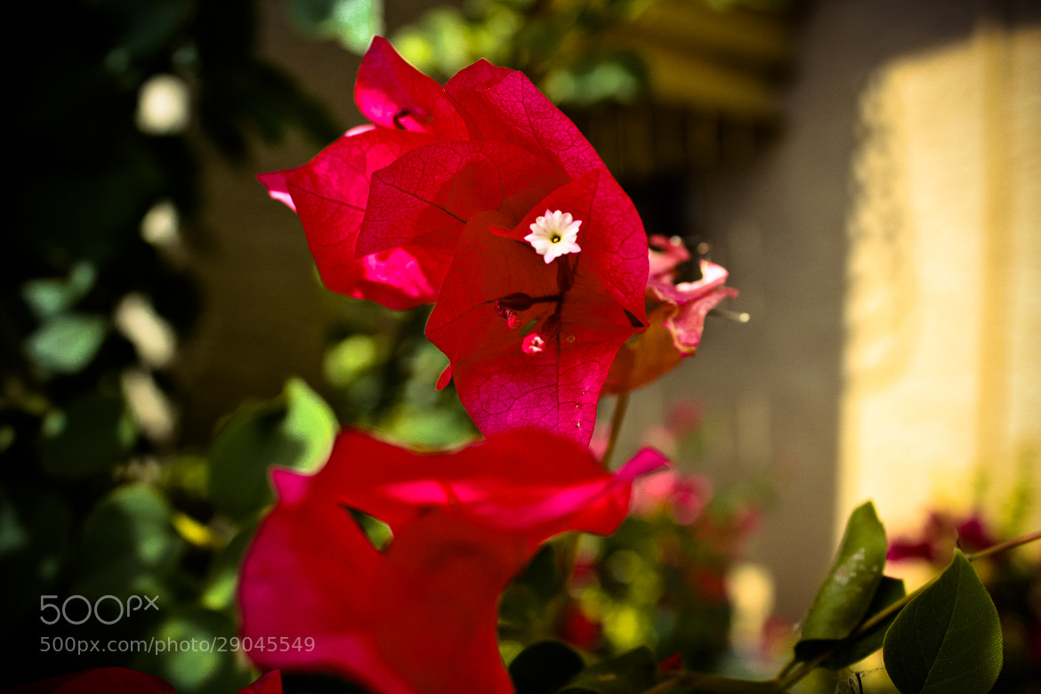 Photograph Flower 5 by Kirk Wallace on 500px