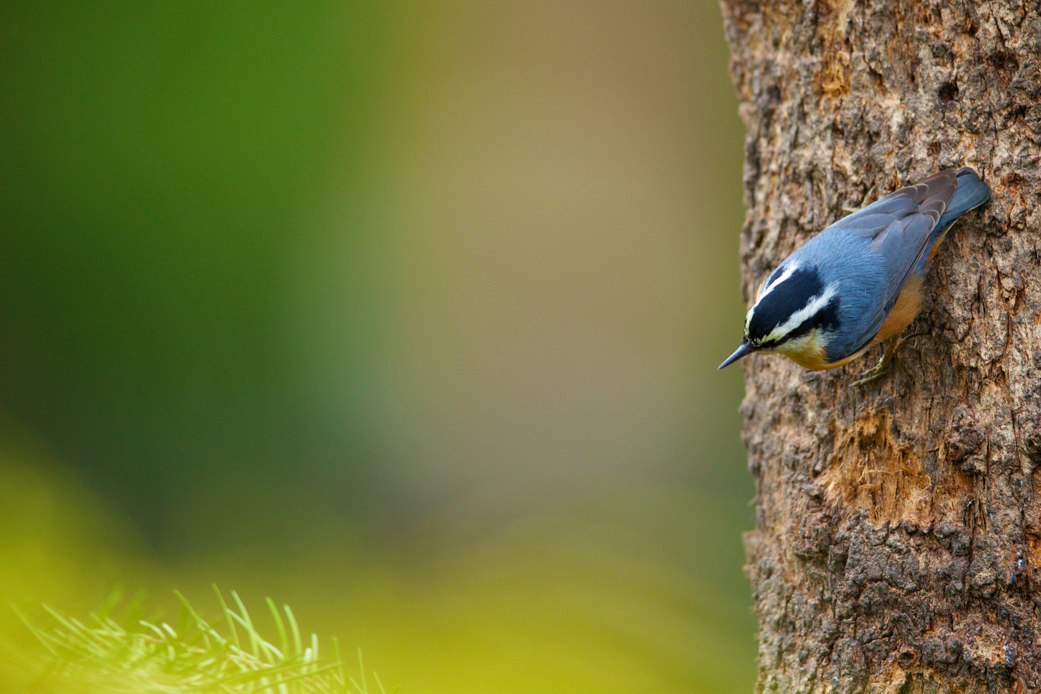Photograph Nuthatch by Brian Didrikson on 500px
