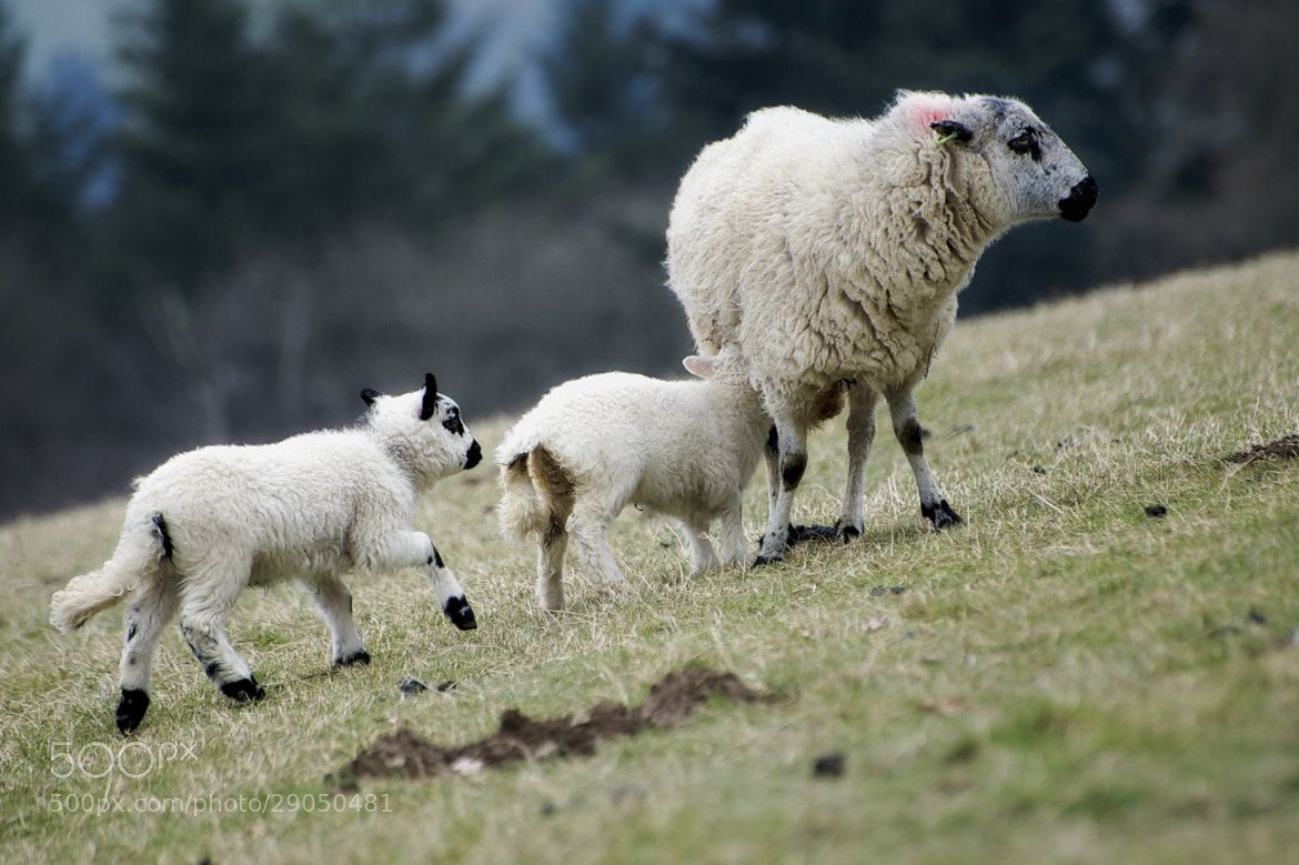 Photograph Lambing Season 2 by Craig Kirkwood on 500px