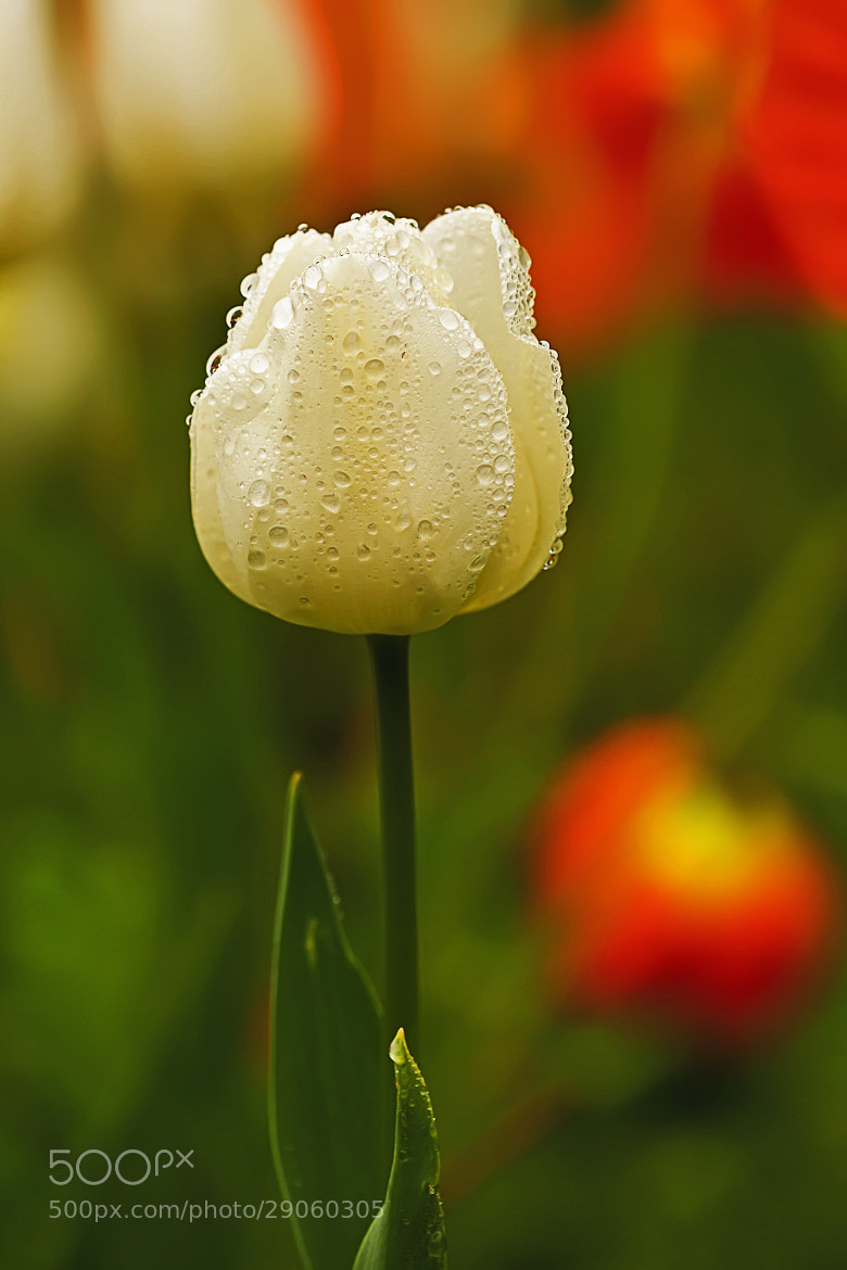Photograph Ms. Tulip Of 2013 by Joseph Trinh on 500px