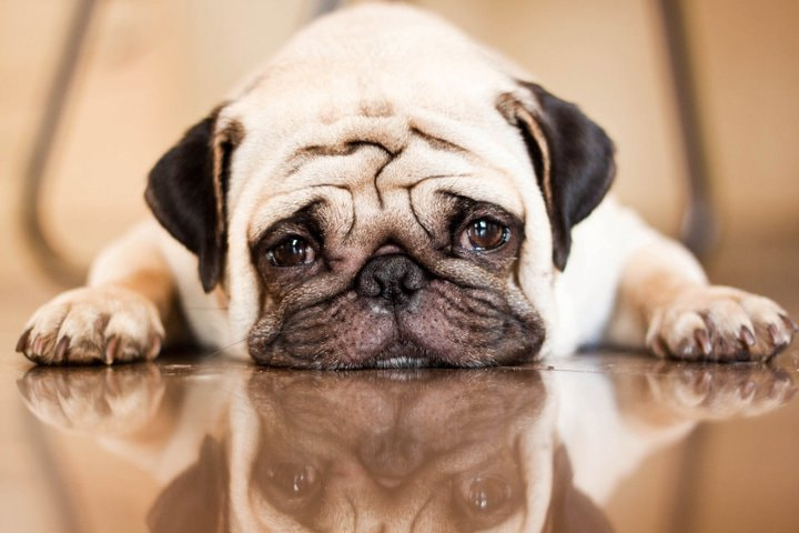 Photograph Pug by Swetha Manne on 500px