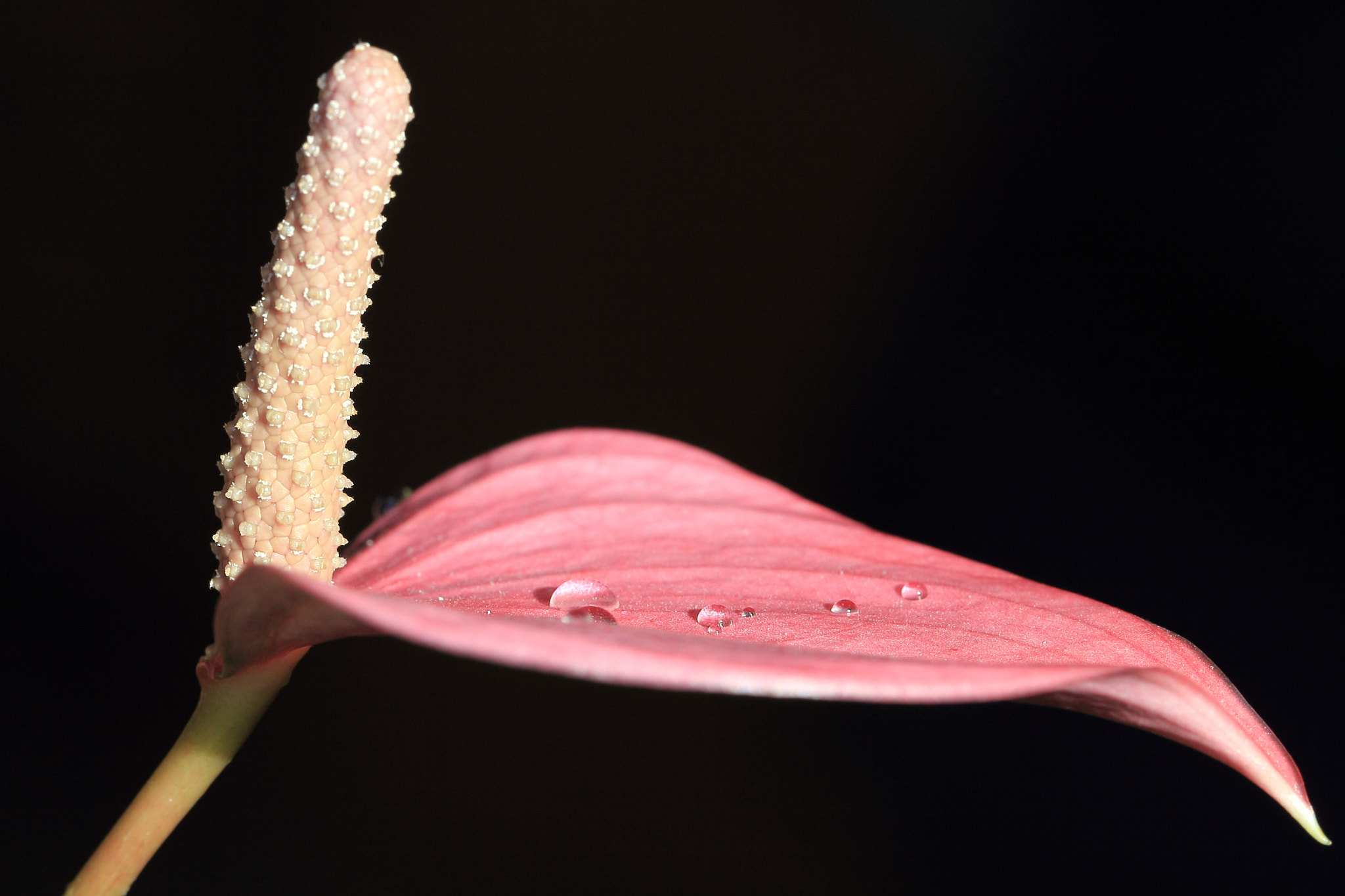Photograph Anthurium by Eva Lechner on 500px