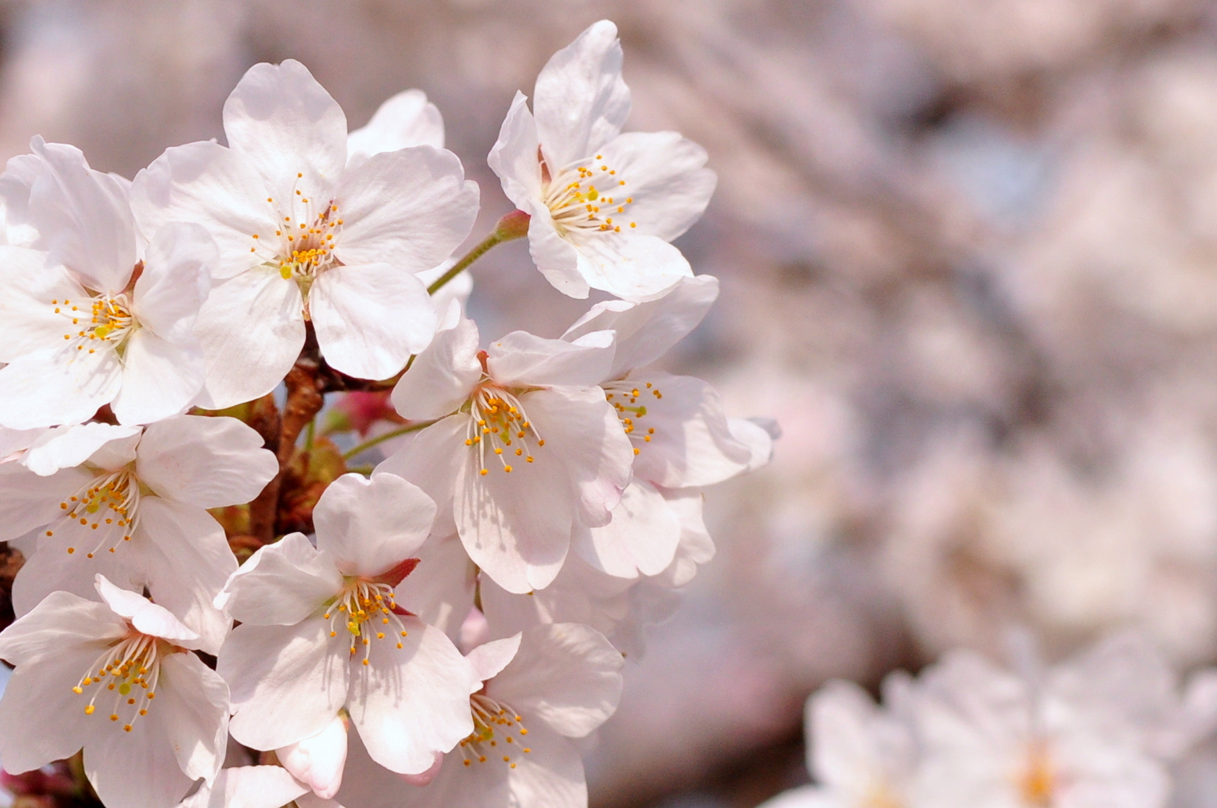 Photograph Sakura Season by Andrew Chow on 500px