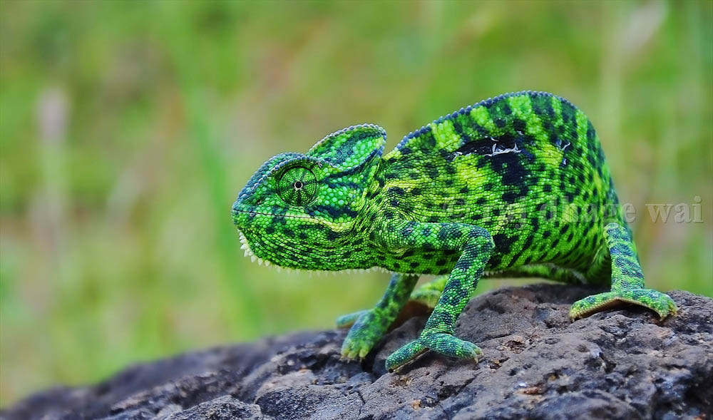 Photograph indian chameleon by Raj Dhage on 500px