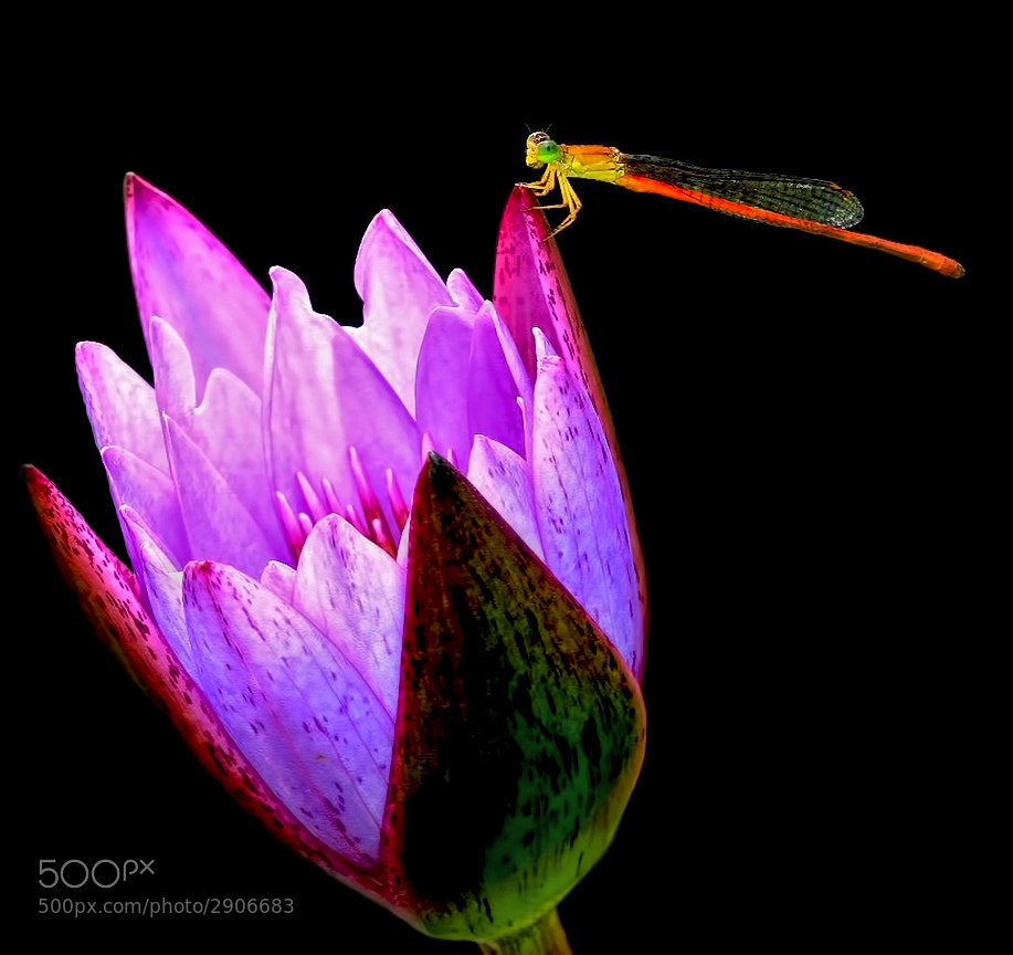 Photograph Orange Damselfly on Lotus by Klaus Wiese on 500px