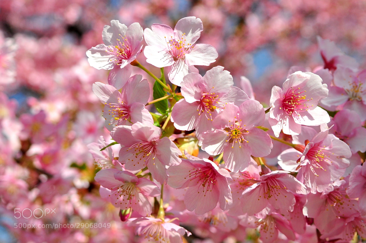 Photograph Plum Flowers by Andrew Chow on 500px