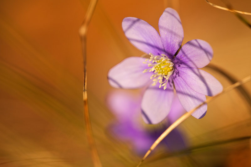 Photograph Hepatica.... by brilorenz on 500px