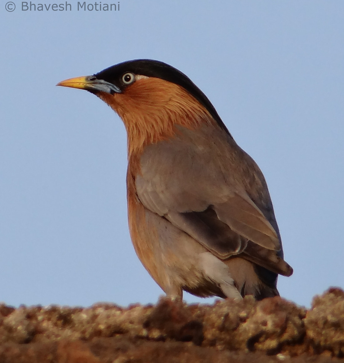 Photograph Brahminy Starling by Bhavesh Motiani on 500px
