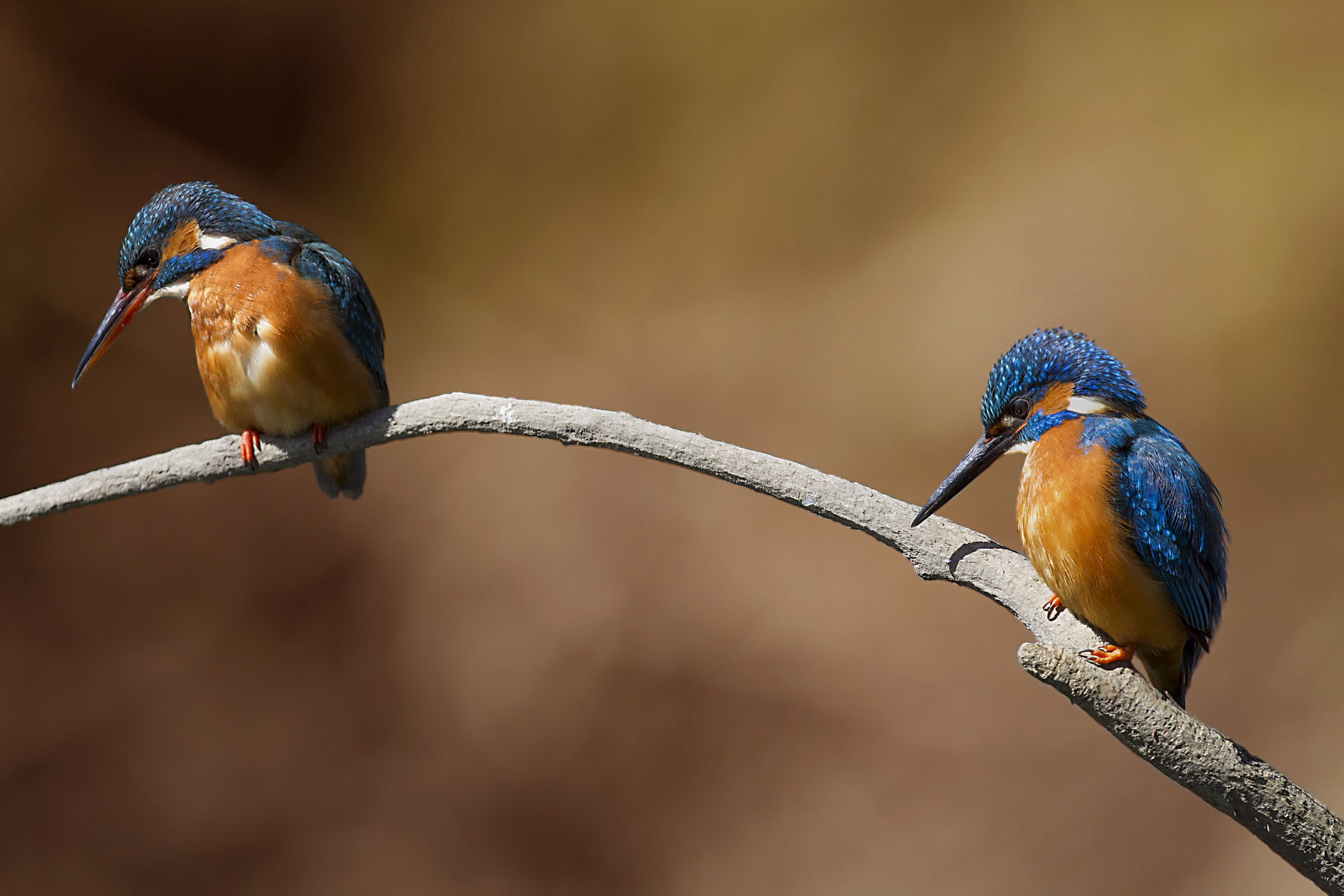 Photograph Double kingfisher by Marco Redaelli on 500px