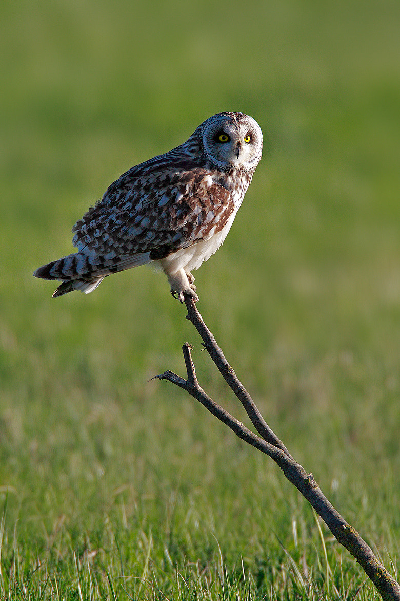 Photograph Short-eared Owl,Asio Flammeus(Gufo di Palude) by Paolo Guidetti on 500px