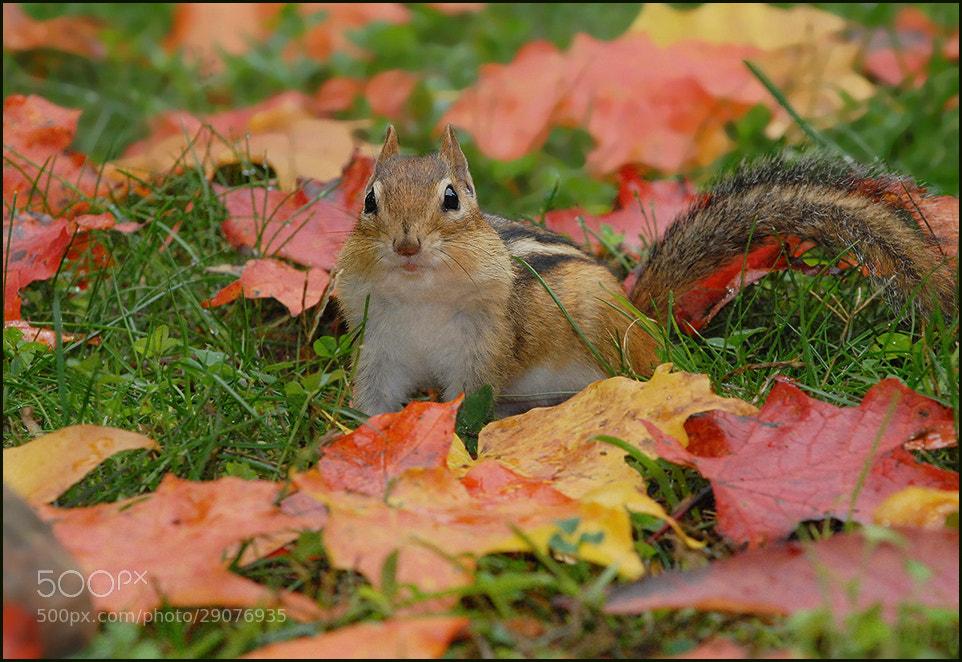 Photograph Chipmunk  by Olga Titova on 500px