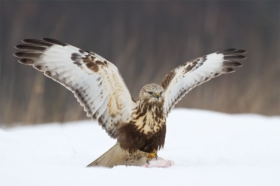 Photograph Rough-legged Buzzard by Marcin Perkowski on 500px