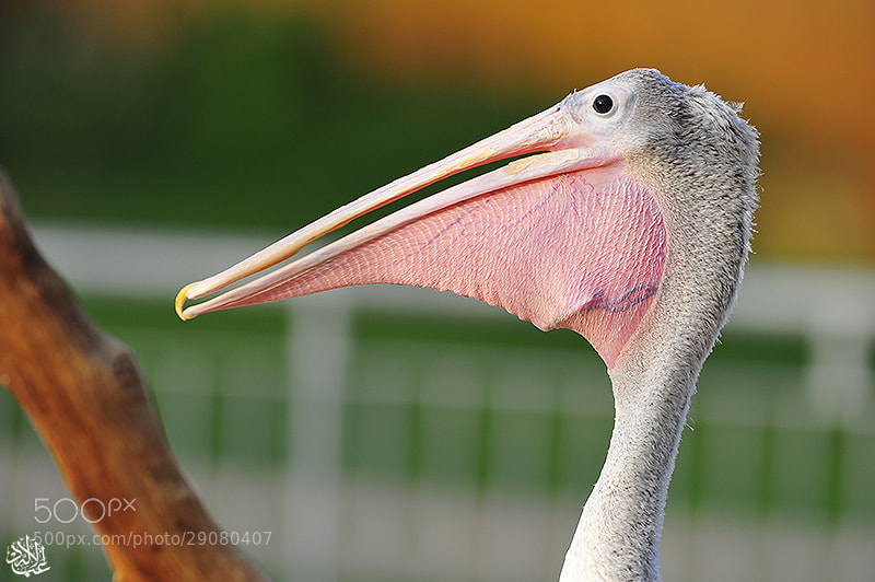 Photograph Pelican by Abduleelah Al-manea on 500px