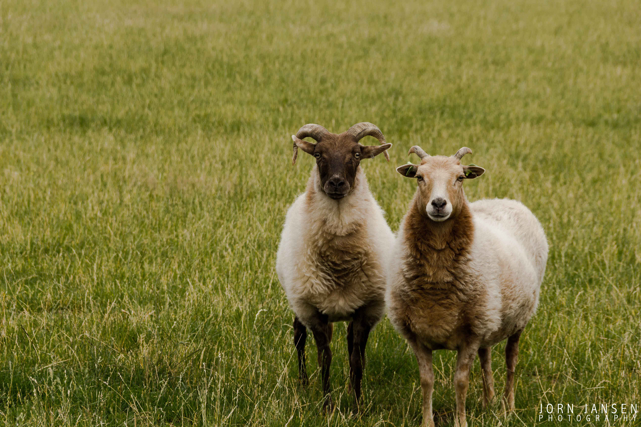 Photograph Two sheep by Jorn Jansen on 500px